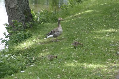 En gåsfamilj sprätte runt i stadsparken.