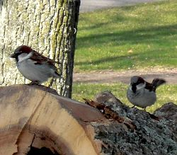 Småfåglar letar föde i döda stockar
