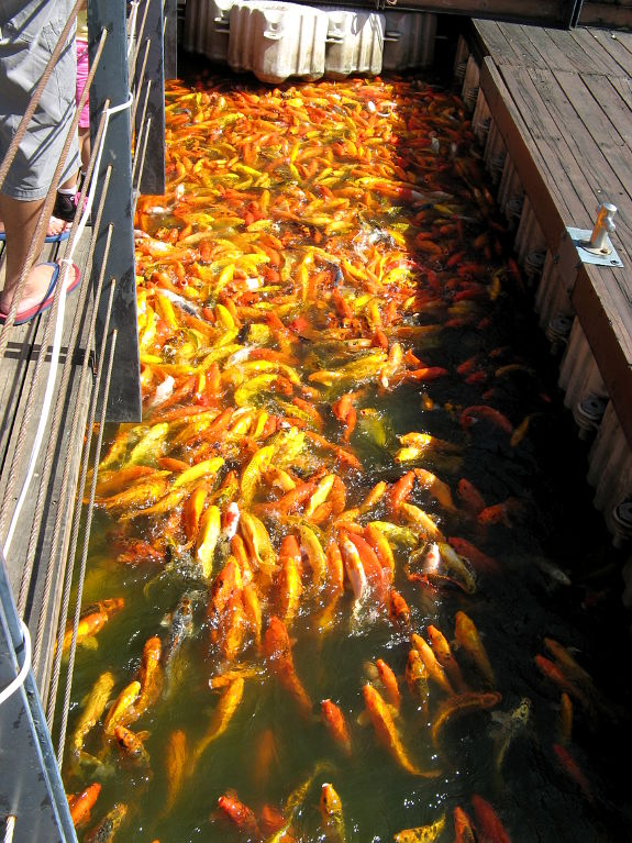 Fiskmatning